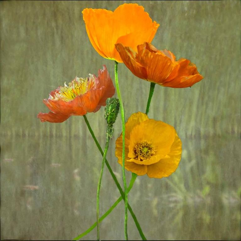 Jerry freedner poppies floral color still life photograph of jerry freedner still life photograph poppies floral color still life photograph of orange mightylinksfo