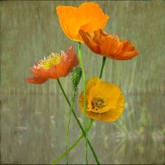 Poppies (Floral Color Still Life Photograph of Orange Poppy Flowers on Green)