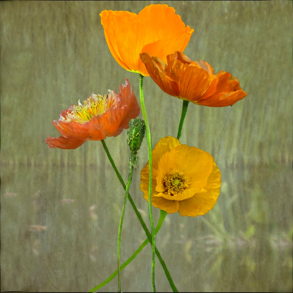 Jerry Freedner Poppies Floral Color Still Life Photograph Of