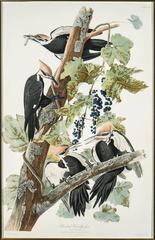 Pileated Woodpecker [Plate 140]