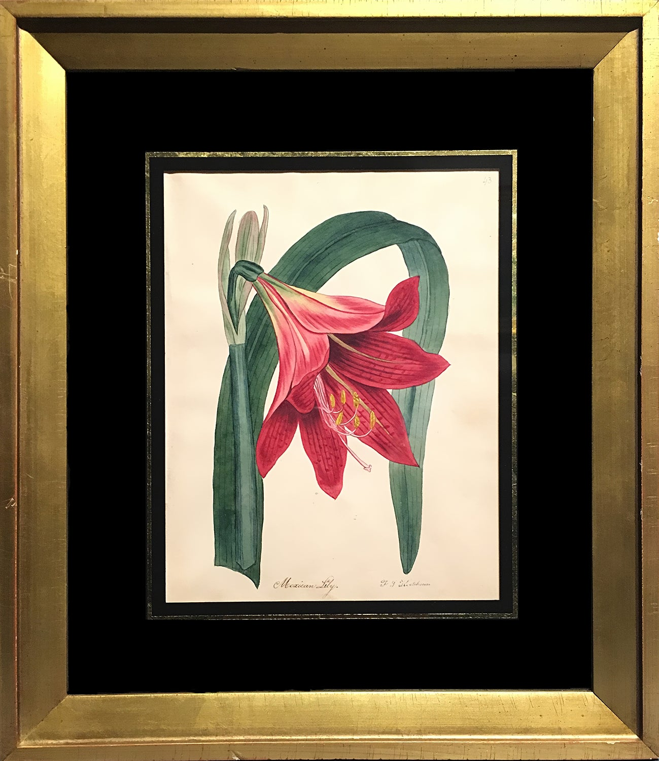 Unknown Mexican Lily For Sale At 1stdibs