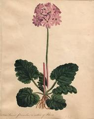 Leaved Primula, a Native of Siberia