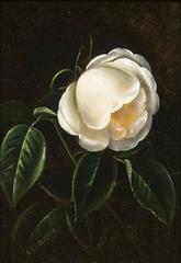 A White Camellia