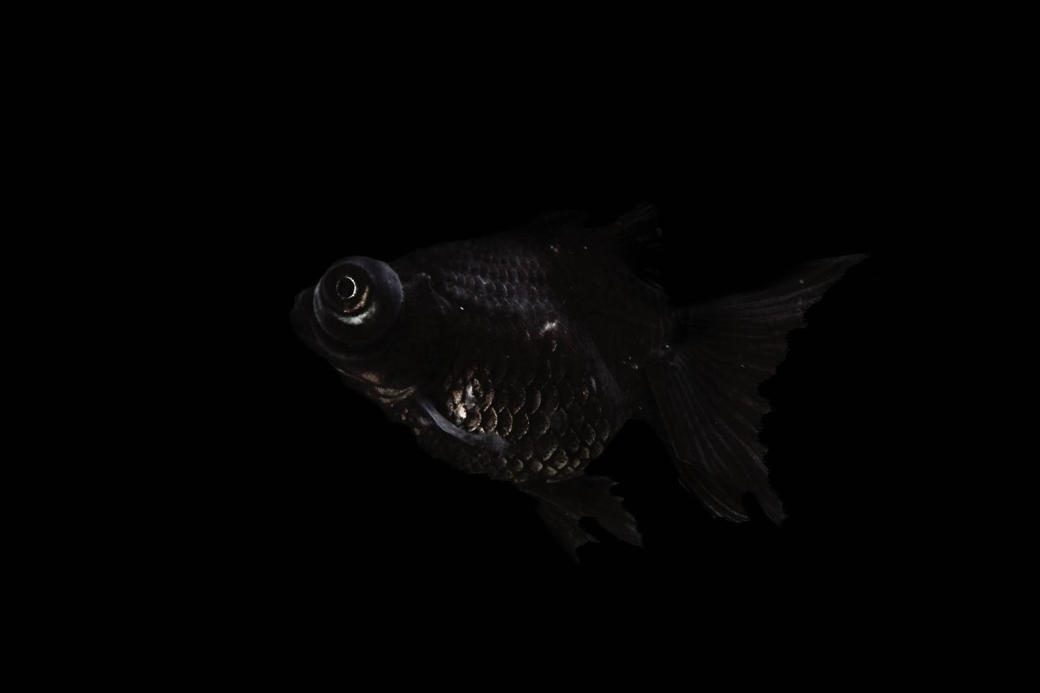 Netta laufer fish from the black beauty series photograph for sale at 1stdibs