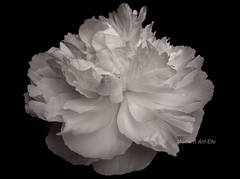 """Photography - large scale abstract black and white """"Flower series"""""""