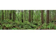 """Redwoods ( 42 x 117"""" / 107 x 298cm)"""