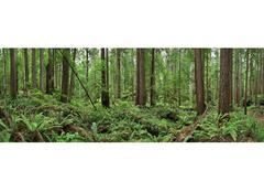 Erik Pawassar - Redwoods