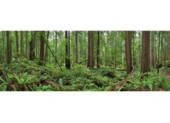 Redwoods - large format nature observation panorama of green redwoods forest