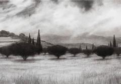 Olive Grove with Cypress Trees