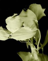 Flower Ghosts 1