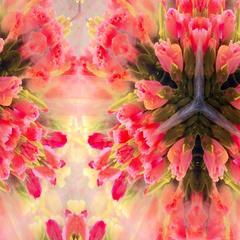 Veiled Tulips