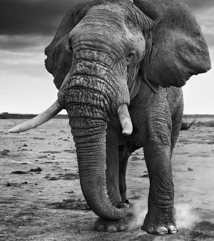 David Yarrow Black and White Photograph - 50 Shades of Grey