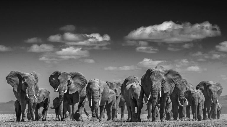David yarrow black and white photograph elephant uprising