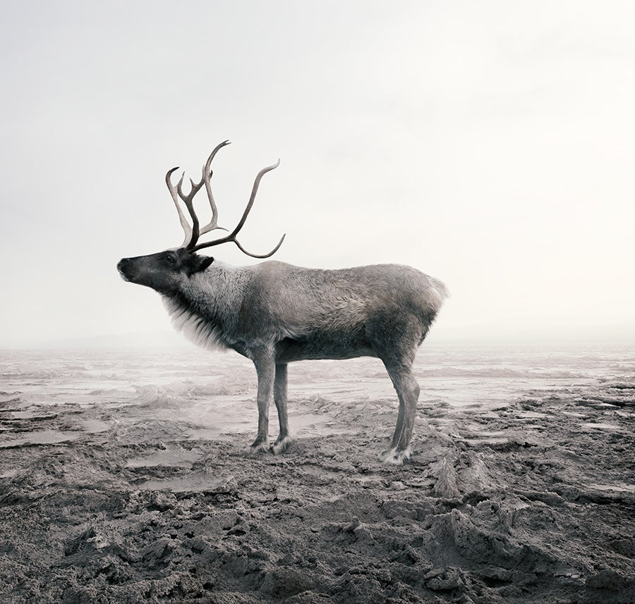 Calm Caribou