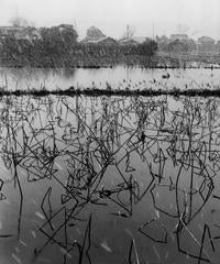 Rice field covered with lotus plants, Tokyo, 1951