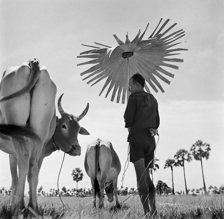 Werner Bischof - Farmer and grazing cows, Cambodia, 1952 1