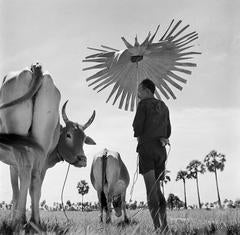 Farmer and grazing cows, Cambodia, 1952
