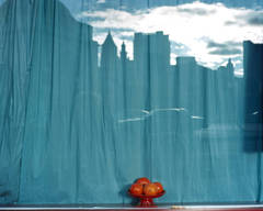 Untitled NY (Oranges and Blue Curtain)