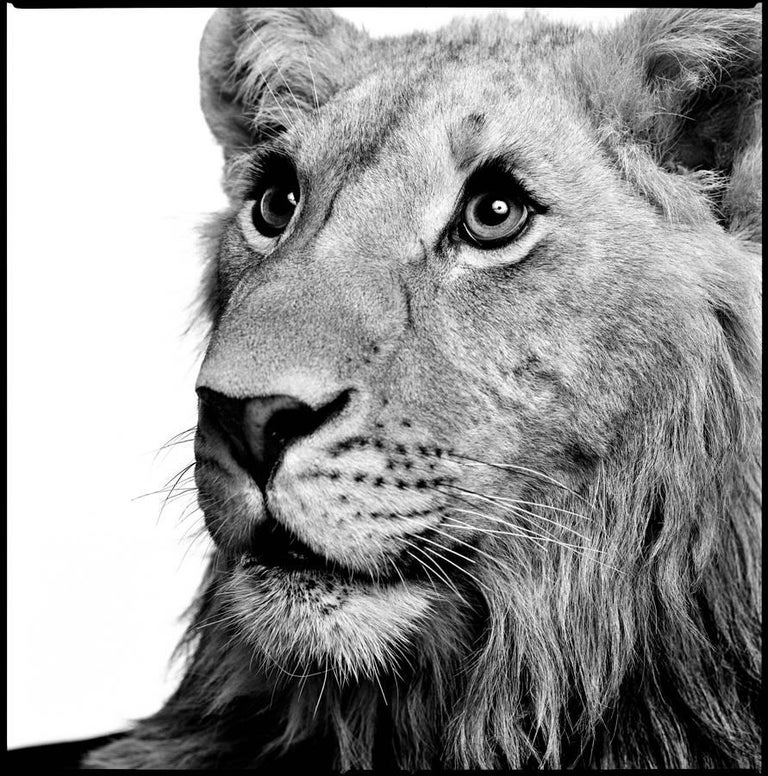 Patrick Demarchelier Black and White Photograph - Lion