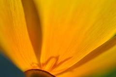 """""""Cup of Gold (Pavot de Californie)"""" Mendocino Photograph, 2013"""
