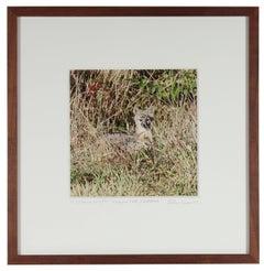 """""""California Grey Fox"""" Mendocino Contemporary Animal Photograph"""