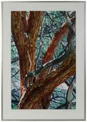 """Manzanita Tree Shedding Bark In Summer"""
