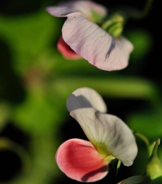 "Gaétan Caron Still-Life Photograph -  ""Like Two Peas in a Pod (Ce n'est pas la fleur des pois)"", Mendocino California"