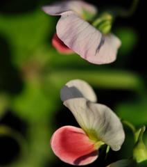 """""""Like Two Peas in a Pod (Ce n'est pas la fleur des pois)"""", Mendocino California"""
