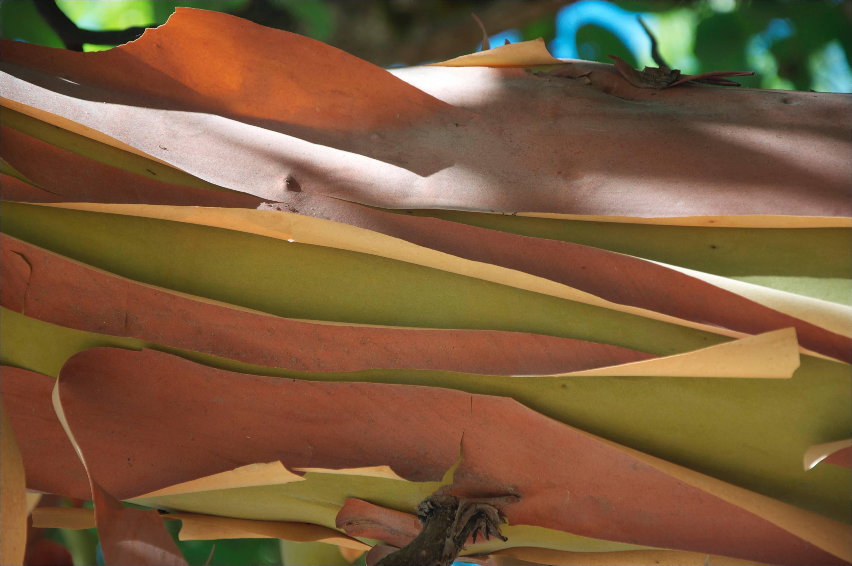 """""""Madrone Bark"""" Mendocino, CA Photograph, 2011"""