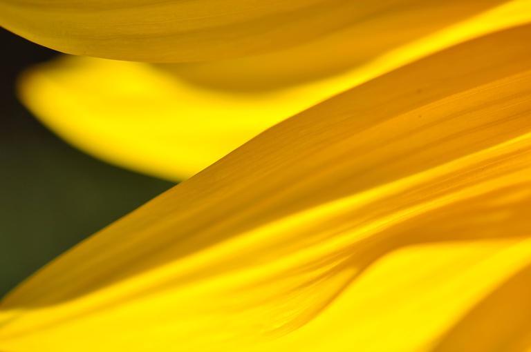 """Grand-Soleil (Sunflower)"" Botanical Close-Up Photograph, 2012"