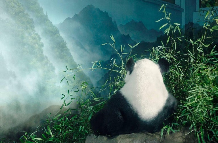 Giant Panda in Den