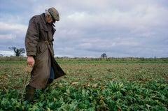 Sugar Beet Harvest, Norfolk