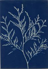 Cyanotype of Plant Forms