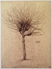 Plane Tree - A