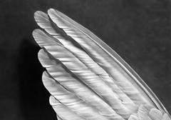 Untitled (Angel's Wing)