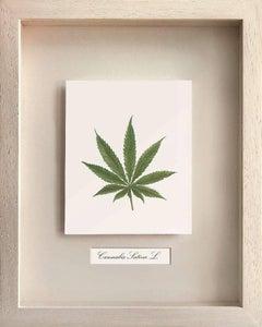 Medical Plants, Canabis Sativa L. (MARIJUANA)