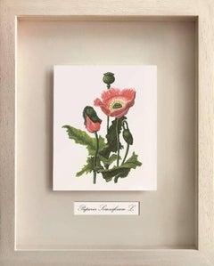 Medicinal Plants, Papaver Somiferum L. (Opium)