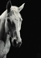 Animal Portrait (Horse)