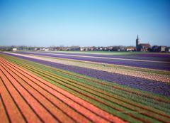 Flowerbulbs, De Zilk (NL)
