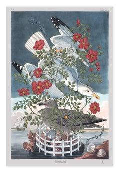 Rosa Rugosa, (Hering Gull)