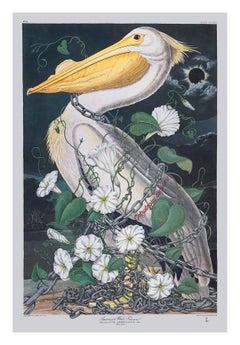 Pelican (Calystegia Sepium)