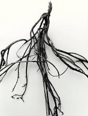 Mandrake Root No. 36