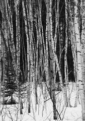 Winter Birches, Northern Quebec.