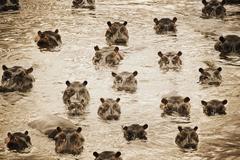 Africa Hippos