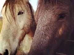 Lindsey Anacleto - Iceland, Horses I