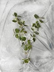 Winter Garden - Euonymous