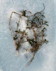 Winter Garden - Lavender 1
