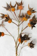 Winter Garden - Roses 4
