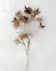 Winter Garden - Rose 5