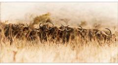 Cape Buffalo No. 2